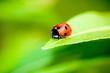roleta: Ladybug