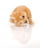 Kitten gazing at reflection poster