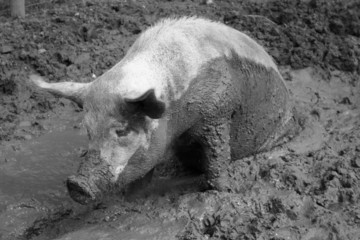 Pig in muck