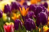 Fotoroleta tulipes
