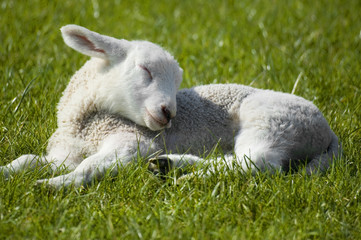 lamb sleeping