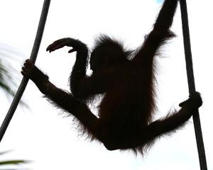 orangutan's baby dancing, shiluette