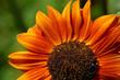 Orangefarbene Sonnenblume