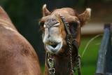 camel facial expression poster