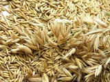 ripe oat grains and ears poster