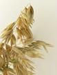 oat corn ears