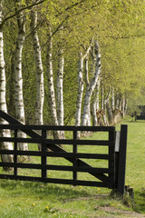 Birches behind a gate
