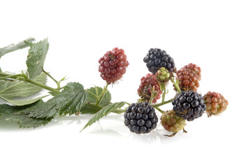 ripe and unripe blackberries