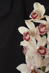Orchid cymbidium