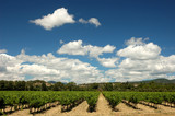 Vineyard in the Provence, southern France poster