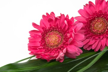 Two pink daisies laying diagonally on a green leaf  over white