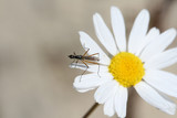 Mosquito on a flower poster