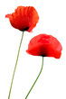 two poppies isolated on white