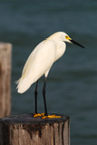 Snowy egret in Florida swamp poster