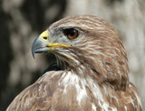 Common buzzard in a tree looking at a mouse. poster