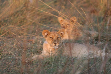 Cubs of Lion