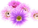 Fototapeta kwiat - jesień - Kwiat
