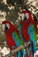 2 red parrots