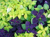 Fauna: Green and violet leaves