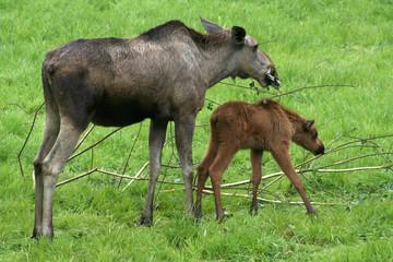 Elchkuh mit ihrem Jungen