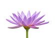 Fleur de nénuphar