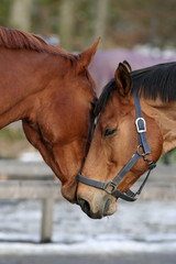 Couple of horses in a romantic moment