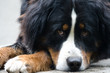 bernese dog