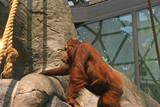 Captive Orangatang poster