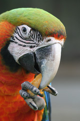 Head of a macaw parrot