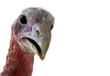 turkey - 4089086