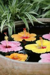 Hibiscus dans une vasque