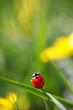 roleta: ladybird