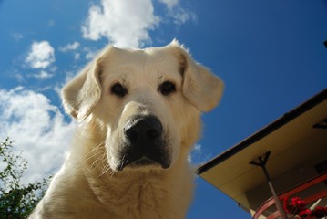 Looking down at the camera sheep-dog