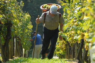 Harvesting in the vineyard