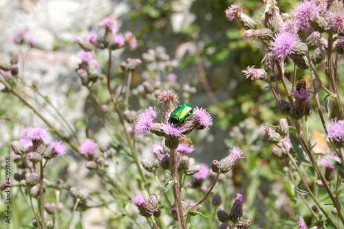 green beetle on thistle