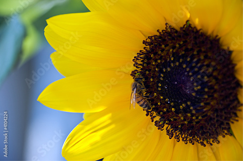 Bee on a sunflower (#1)