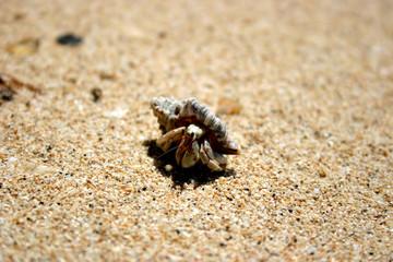 Einsiedlerkrebs am Strand von Samoa