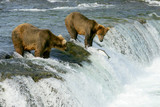 Grizzly bears - Fine Art prints