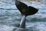 killer whale tail splash poster