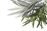 fresh herbs. rosemary and lavender poster