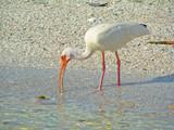 an ibis at the beach poster