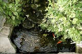 gold fish and coins in pond. coins for charity/luck poster