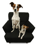 Two Jack Russell Terriers on a black chair. poster