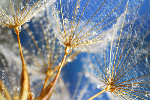 water drops on dandy
