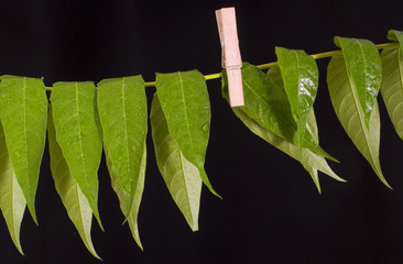 drying web leaves