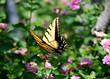Butterfly63