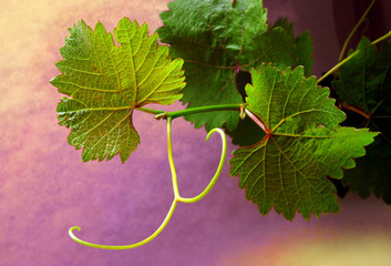 Grapevine on colorful backgrounds