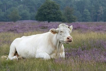 white cow in landscape