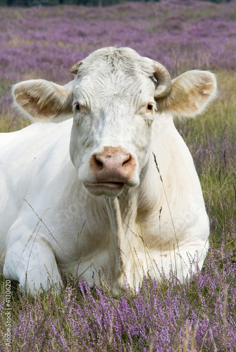 cow in purple landscape
