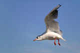 Blach headed gull hovering. poster